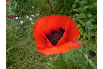 1280px-Red_poppy_1.JPG
