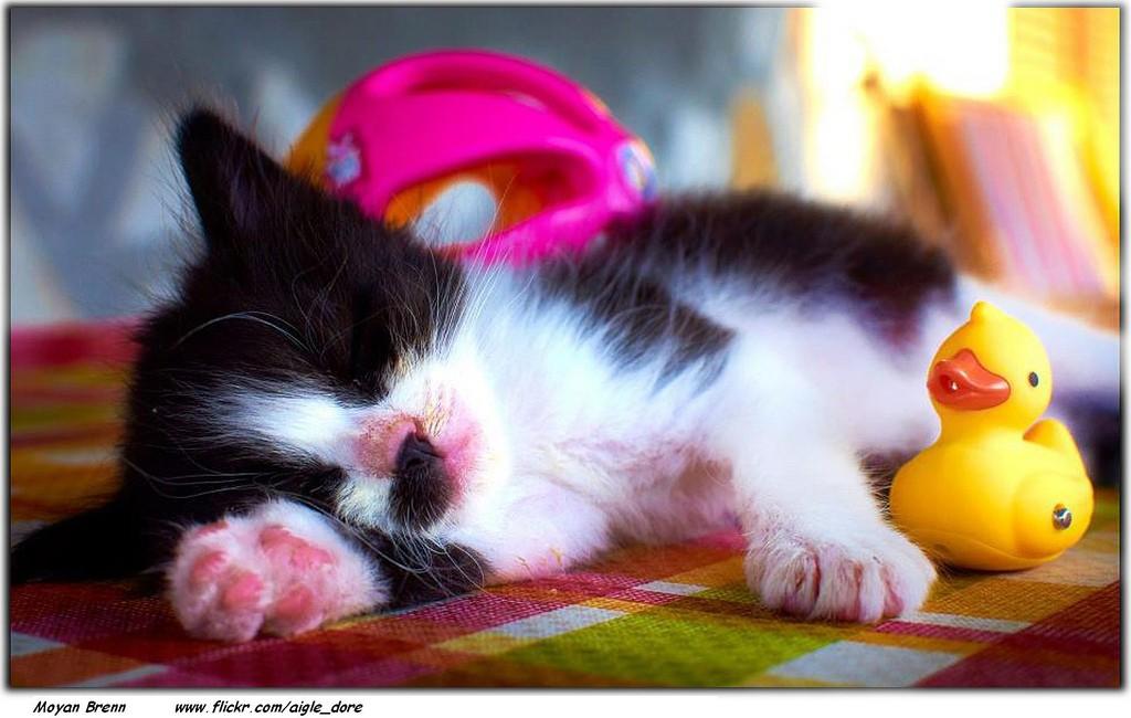 sleep kitten.jpg